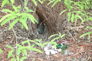 "Bower of ""Great Northern Bowerbird"""